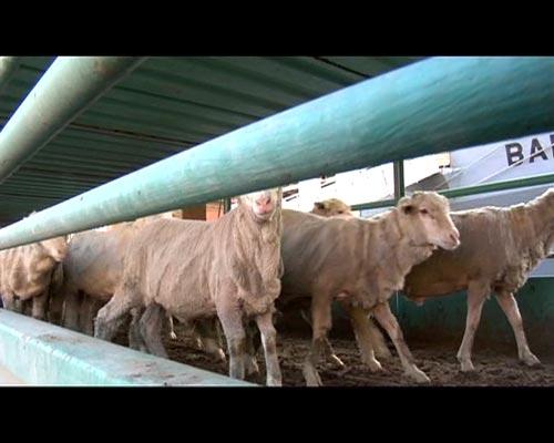 Pecore condotte al macello.